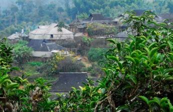 茶wangyi定是山上最纗i哪莐e树吗?
